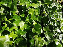 Kletterpflanze Hedera helix- Efeu 40-60cm im Topf
