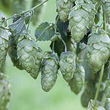 Kletterpflanze Humulus - Echter Hopfen 60-100cm im