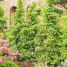 Kletterpflanze Hydrangea - Kletterhortensie 40-60cm im 2L Topf gewachsen