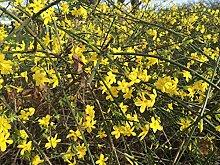 Kletterpflanze Jasminum - Winterjasmin 60-100cm im