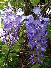 Kletterpflanze - Wisteria Sinensis Prolific - GROSSE PFLANZE, 1.5 m