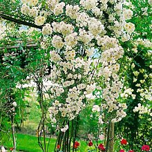 Kletterrose Blütenwolke, im ca. 23 cm-Topf