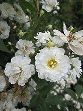 Kletterrose Guirlande d'Amour® - Rosa