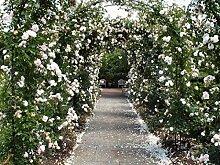 Kletterrose in div. Farbnuancen Farbe Rosa