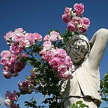 Kletterrose Jasmina in Violett-Rosa - ADR