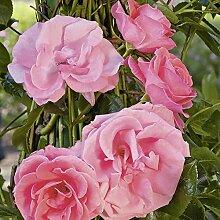 Kletterrose Lawinia in Rosa-Pink - Kletter-Rose