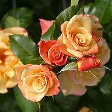 Kletterrose Moonlight in Kupfer-Gelb - Rosa - Kletter-Rose winterhart & duftend - Pflanze für Rankhilfe im 5 Liter Container von Garten Schlüter - Pflanzen in Top Qualitä
