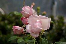 Kletterrose New Dawn® - Rosa New Dawn® -