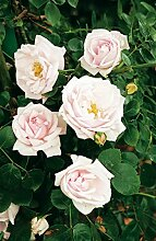 Kletterrose New Dawn in Hell-Rosa - Kletter-Rose