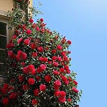 Kletterrose Red Flame in Rot - Kletter-Rose
