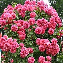 Kletterrose Rosarium Uetersen in Rosa -