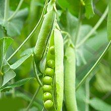Kloius 30 Teile/beutel Grüne Süße Erbse Samen
