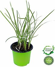Knobi Gras, Knoblauchgras Pflanze Tulbaghia violacea