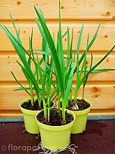 Knoblauch Pflanze Allium sativum 2stk./ Gemüse Pflanze