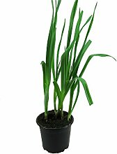 Knoblauch Pflanze, Echter Knoblauch, Marktfrische Qualität 12 cm Topf (Allium sativum)