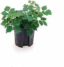 Königswein, Cissus Manda, Zimmerpflanze in Hydrokultur, 13/12er Kulturtopf, 15 - 20 cm