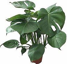 Köstliche Fensterblatt, (Monstera delicosa),