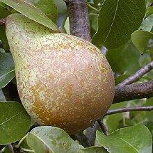 Köstliche von Charneux Birne Birnenbaum