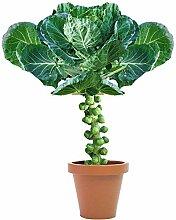 Kohlsporen Vier Jahreszeiten Gemüsesamen