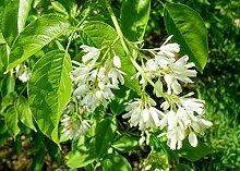 Kolchische Pimpernuss Staphylea colchica Pflanze
