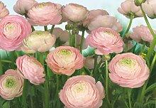 Komar Fototapete Gentle Rosé,