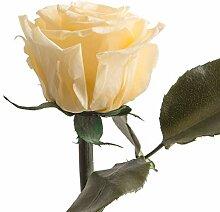 Konservierte Rose lang haltbare Rose mit Rosenduft
