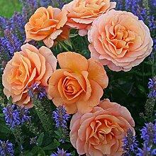 Kordes Rosen Bengali Beetrose, kupfergelb mit