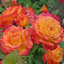 Kordes Rosen Gartenspaß Beetrose, gelb mit rotem