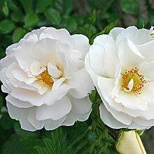 Kordes Rosen Hella Kletterrose, weiß, 12 x 12 x