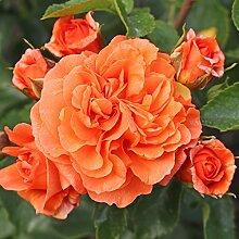 Kordes Rosen Orangerie Beetrose, orange, 12 x 12 x