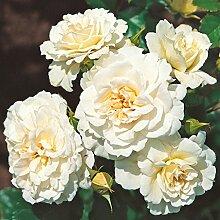 Kordes Rosen Petticoat Beetrose, cremeweiß mit
