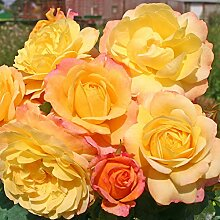 Kordes Rosen Rose der Hoffnung Beetrose, gelb mit