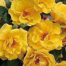 Kordes Rosen Stuttgardia Beetrose, leuchtendes