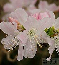 Koreanische Azalee 25-30cm- Rhododendron