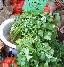 Koriander, Koriander, chinesische Petersilie-Kraut, 45 Samen! Groco