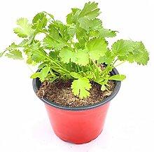 Koriander Pflanze, Persicher Koriander,Coriandrum