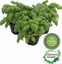 Kräuter-Set Pesto, Basilikum Pflanze aus Nachhaltigem Anbau!