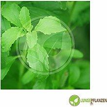 Kräutersamen - Stevia rebaudiana / Süßkraut - Stevia rebaudiana 10 Samen