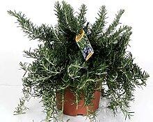 Kraut von Botanicly – Rosmarin – Höhe: 40 cm