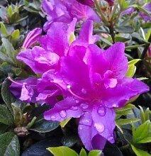 Kriechende Immergrüne Zwerg Azalee Galapagos 15-20cm - Rhododendron nakaharai