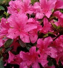 Kriechende Immergrüne Zwerg Azalee Purnululu 20-25cm - Rhododendron nakaharai