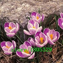Krokus Samen Topfpflanzen Blumenbalkonpflanzen 50