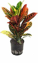 Kroton, Croton variegatum Petra, Zimmerpflanze in