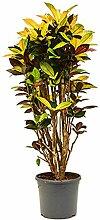 Kroton Iceton 110-140 cm im 31 cm Topf große Zimmerpflanze sonniger Standort Codiaeum variegatum 1 Pflanze