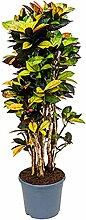 Kroton Iceton 140-170 cm im 35 cm Topf große Zimmerpflanze sonniger Standort Codiaeum variegatum 1 Pflanze