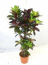 Kroton ´Mrs ICETON`160 cm kräftig verzweigt - Codiaeum - Croton // außergewöhnliche Zimmerpflanze mit bunten Blättern