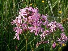 Kuckucks-Lichtnelke (Lychnis flos-cuculi) Teichpflanze Teichpflanzen Teich