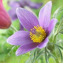 Küchenschelle - Pulsatilla vulgaris - blau-violett blühende, glockenförmige Blüten - Kübelpflanze im 9 cm Topf - frisch aus der Gärtnerei - Pflanzen-Kölle Gartenstaude