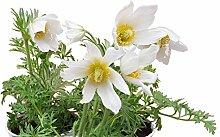 Küchenschelle (Pulsatilla vulgaris) Blühfarbe:
