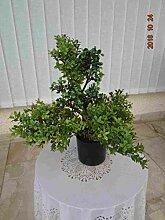 künstlicher Bonsai Teeblatt 50 cm.hoch 40cm.brei